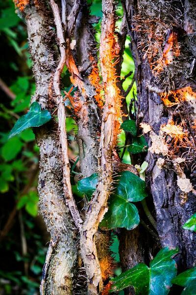 Poison_Ivy_2_6_15